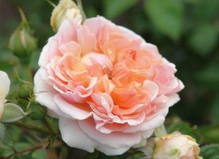 Саженцы роз Чип и Дэйл