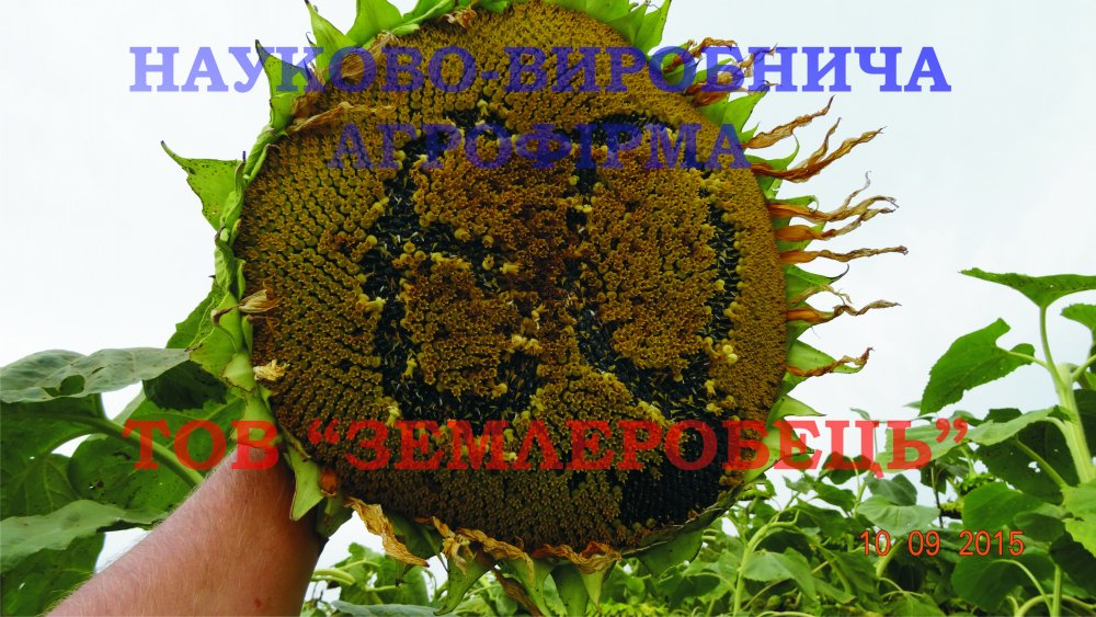 Купить Семена подсолнечника, Сорт Донской - 60