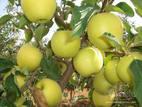 Купить Саженцы яблонь Голден Делишес