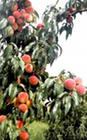 Купить Саженцы персика Кремлевский