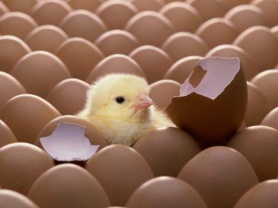 Россельхознадзор выявил поставку инкубационных яиц из США по поддельному сертификату