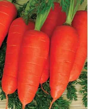 Морковь Нью Курода (100гр)