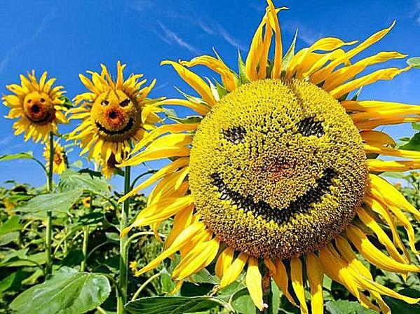 Купить Подсолнухи, семена,подсолнухи,просо,лён,Кукуруза,зерно,фураж,рапс,соя,зерновые,бобовые,пшеница,кукуруза фуражная,