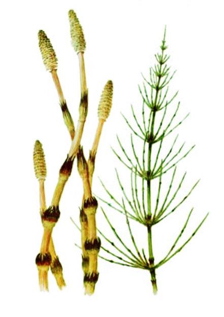 Купить Трава хвоща полевого, Трава хвоща полевого недорого оптом, Трава хвоща полевого с экологически чистого региона