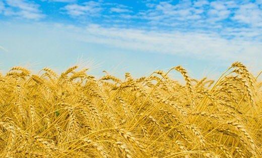 """Купить Пшениця яра """"Зимоярка"""""""