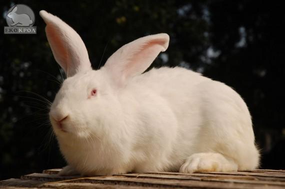 """Кролик """"Белый великан"""" (самка, самец, молодняк)"""