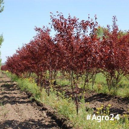 Buy Saplings of decorative plum of Pissardi of 200-250 cm.