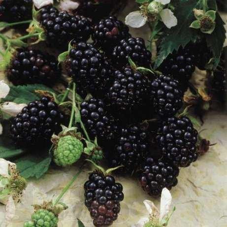 Blackberry saplings. Blackberry bezkolyuchkovy grade of Distempers Stem