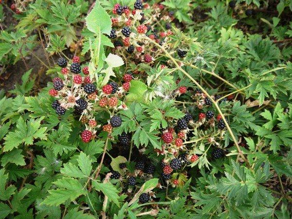 Blackberry saplings. Blackberry bezkolyuchkovy grade Oregon