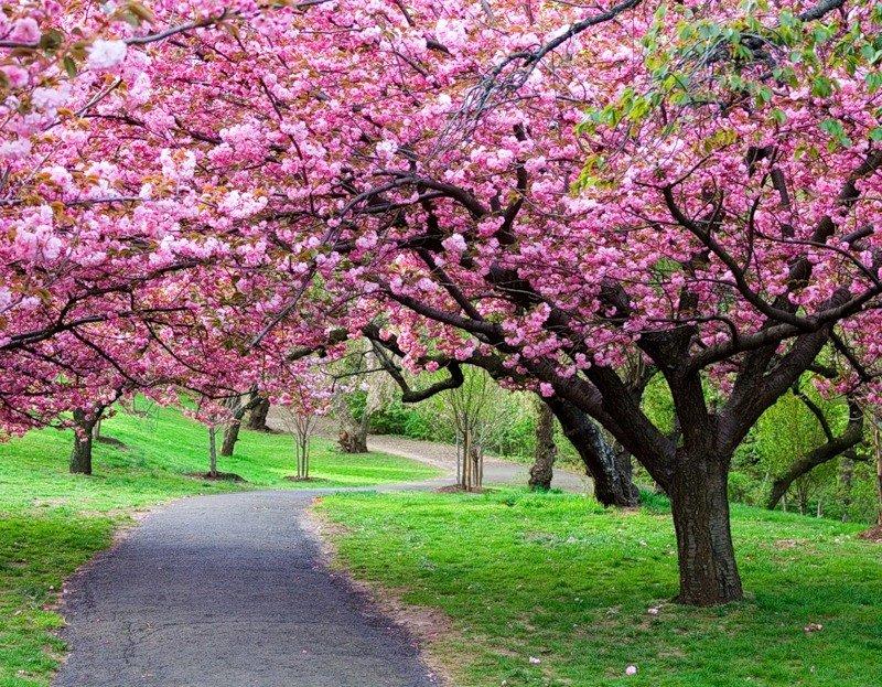 Картинки по запросу цветки сакуры на земле в ужгороде