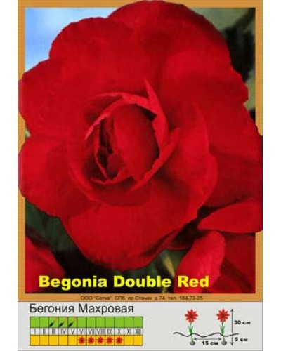 Buy Begonia Terry red