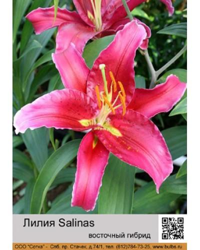 Buy Lily East hybrid of Salinas
