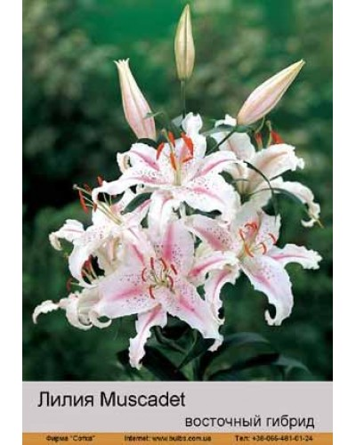 Buy Lily East hybrid of Muscade