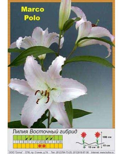 Buy Lily East hybrid of Marco Pol