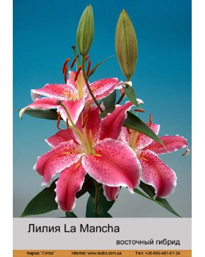 Buy Lily East hybrid of La Mancha