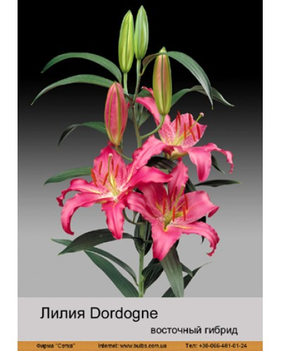 Buy Lily East hybrid of Dordogne