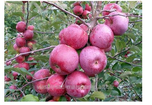 Яблоня сорт Флорина.