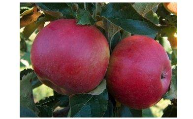 Яблоня сорт Аскольда.