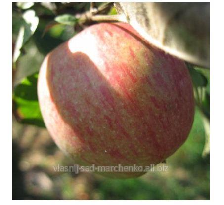 Яблоня сорт Катерина.