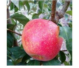 Яблоня сорт Пинова.