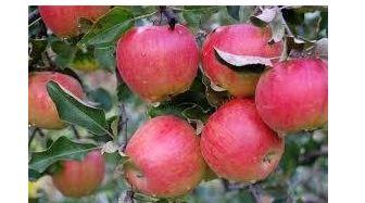 Яблоня сорт Прима.