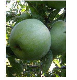 Яблоня сорт Ренет Симеренко.