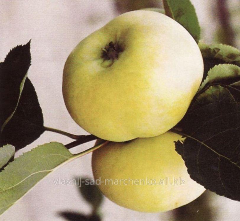 Яблоня сорт Донешта.