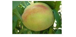 Персик сорт Гринсборо.