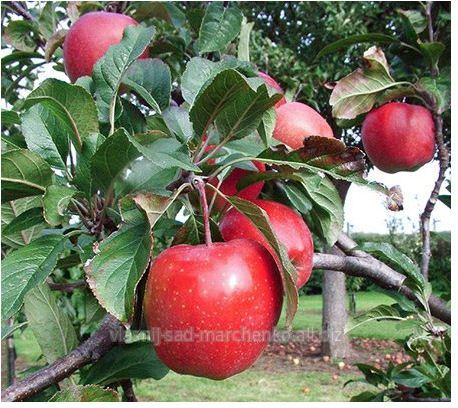 Apple-tree grade Gloucester.