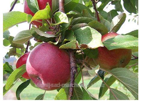 Яблоня сорт Макинтош.