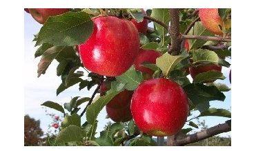 Яблоня сорт Джонаголд.