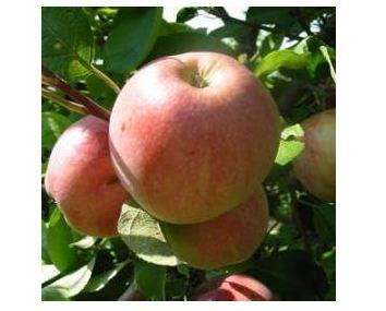 Яблоня сорт Старк эрлиест.