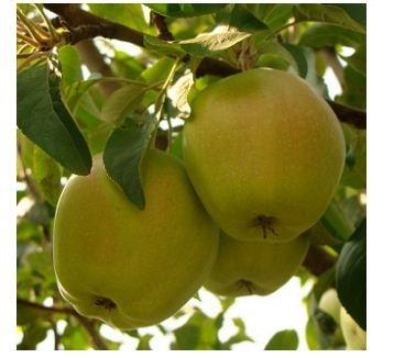 Яблоня сорт Кальвиль снежный.