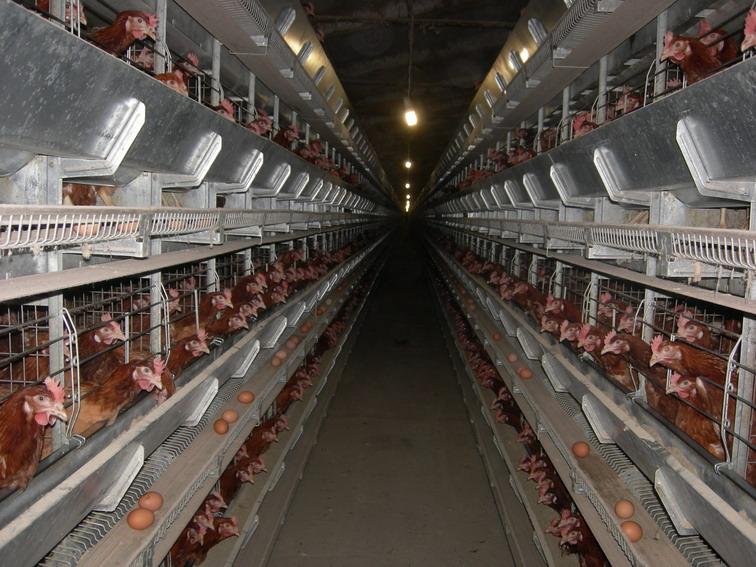 Клеточное оборудования для выращивания промышленного стада кур-несушек ОКН