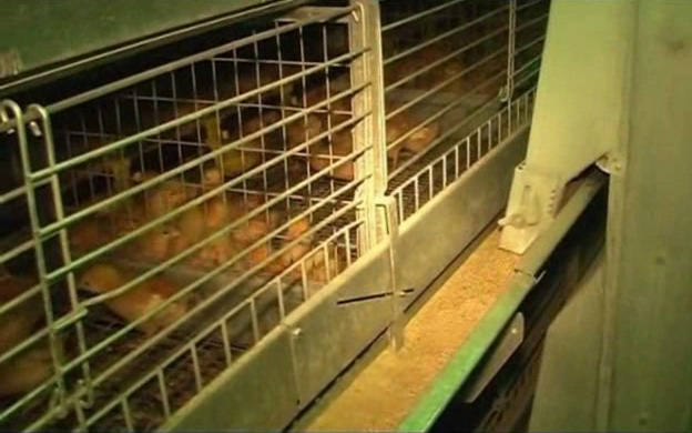 Клеточное оборудования для выращивания ремонтного молодняка кур-несушек ОАРМ