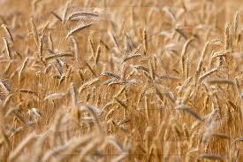 Купить Пшеница 2 клас