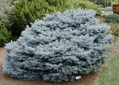 Ель колючая 'Глаука Глобоза' (Picea pungens 'Glauca Globosa')