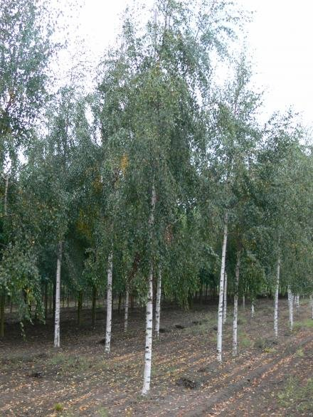 Лиственные деревья и кустарники в ассортименте, береза бородавчатая, дуб черешчатый, магония падуболистная, спирея японская, шиповник и многое другое