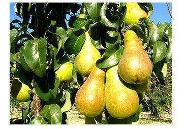 Pear grade Bør Kijewskaja.