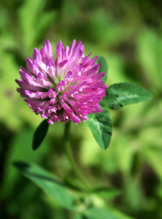 Семена клевера — Купить в Саде Семена клевера, Стоимость ...