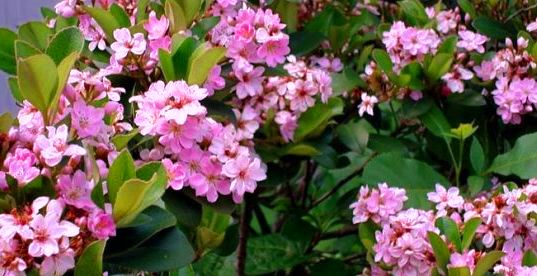 """Buy Common hawthorn to """"Flora Rose"""