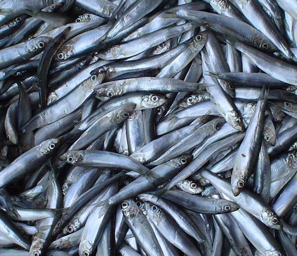 Рыбаки Керчи боятся, что хамсу будет некуда девать