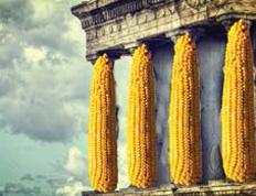 Семена кукурузы Эладиум