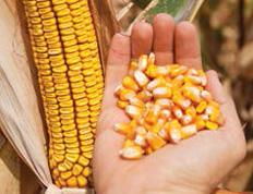 Семена кукурузы Кобальт