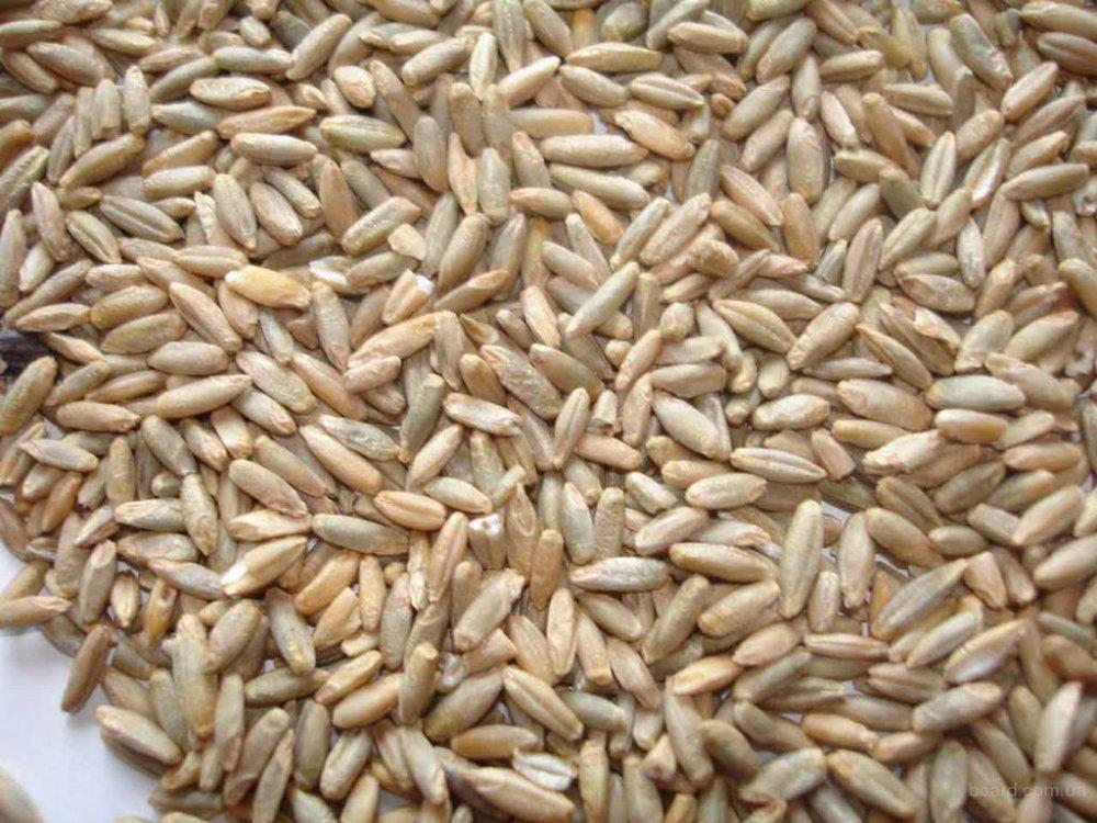 Рожь (жито) зерно
