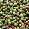 Buy Sapling of an aktinidiya (Kiwi)