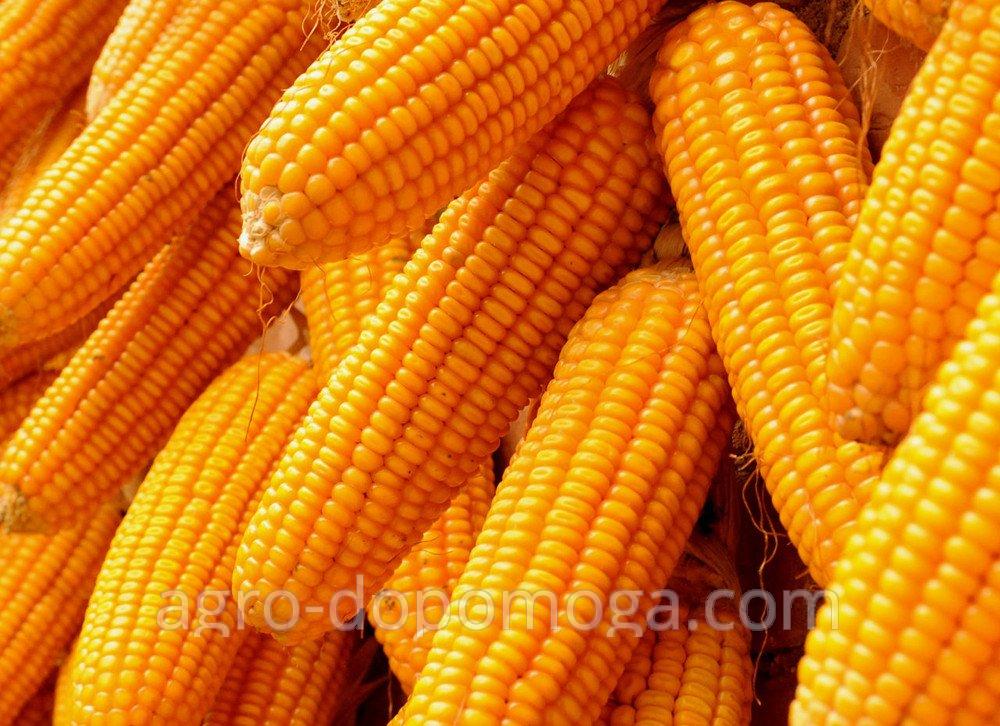 Corn the Pioneer of PR39D81 (Pioneer PR39D81) - sowing material