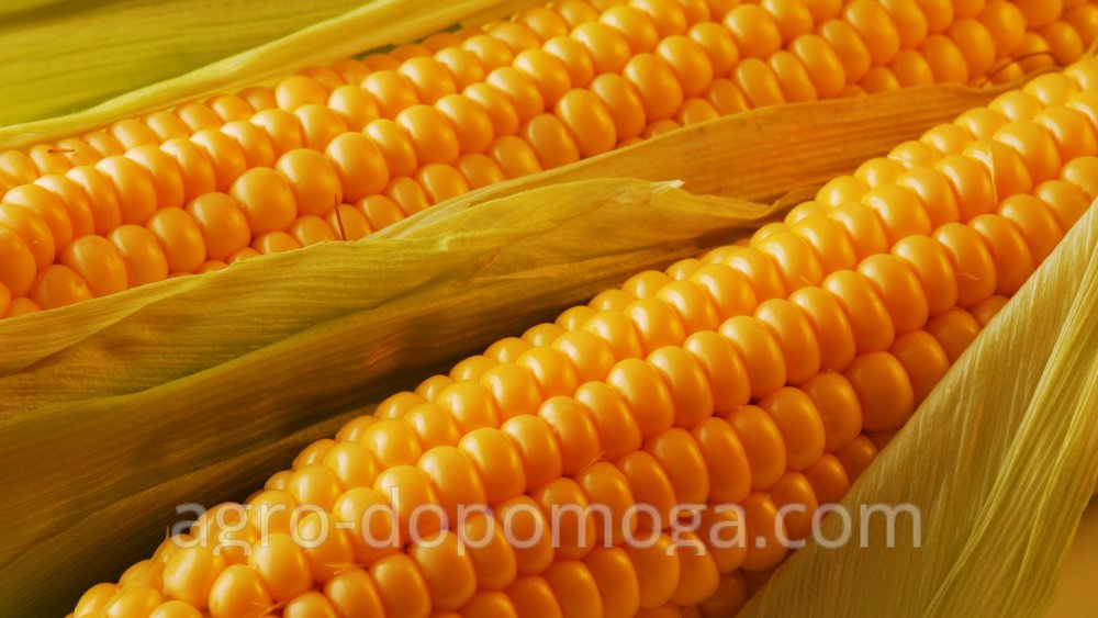 Кукуруза среднеспелый гибрид Pioneer PR37N01 Пионер ПР37Н01
