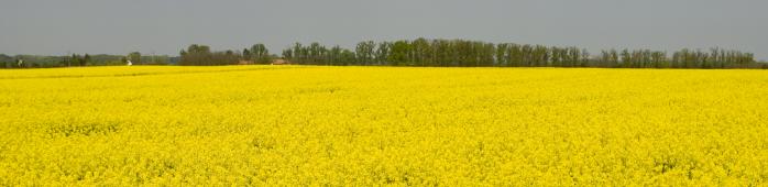 Семена озимого рапса - посевной материал