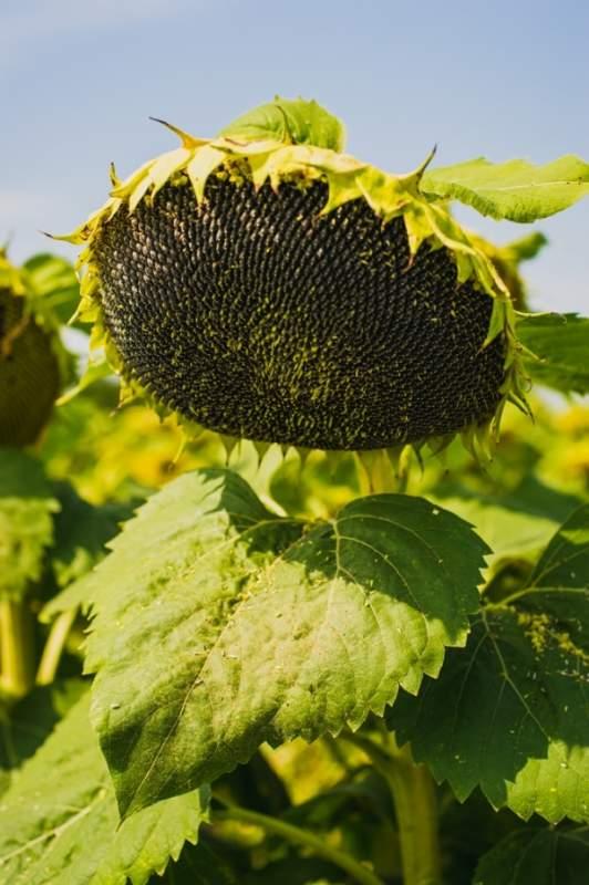 Семена подсолнуха Mas 83.R